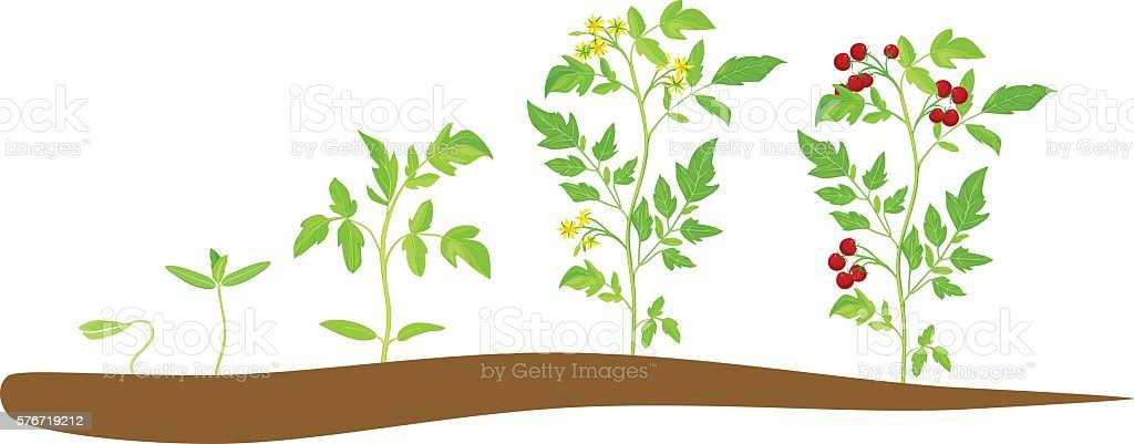 Cherry tomato growing stage vector art illustration