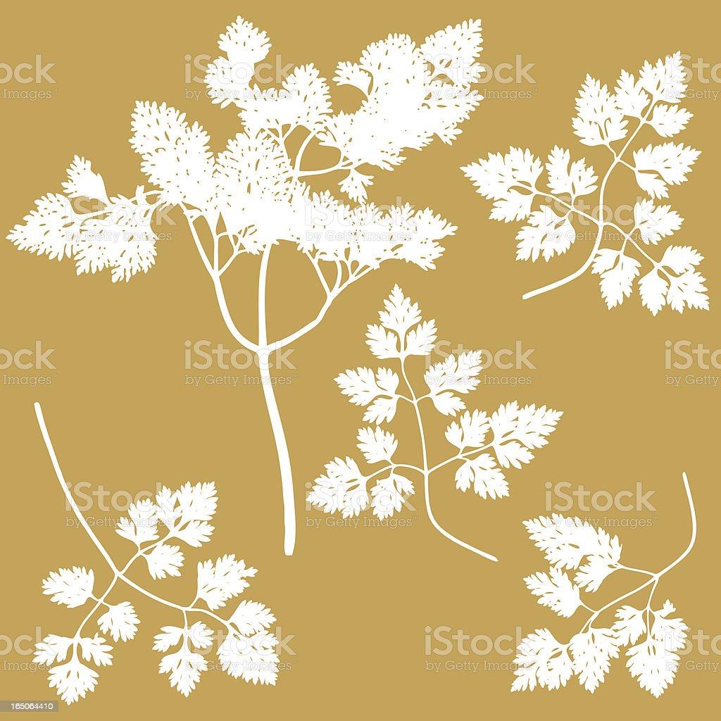 Chervil Herb vector art illustration