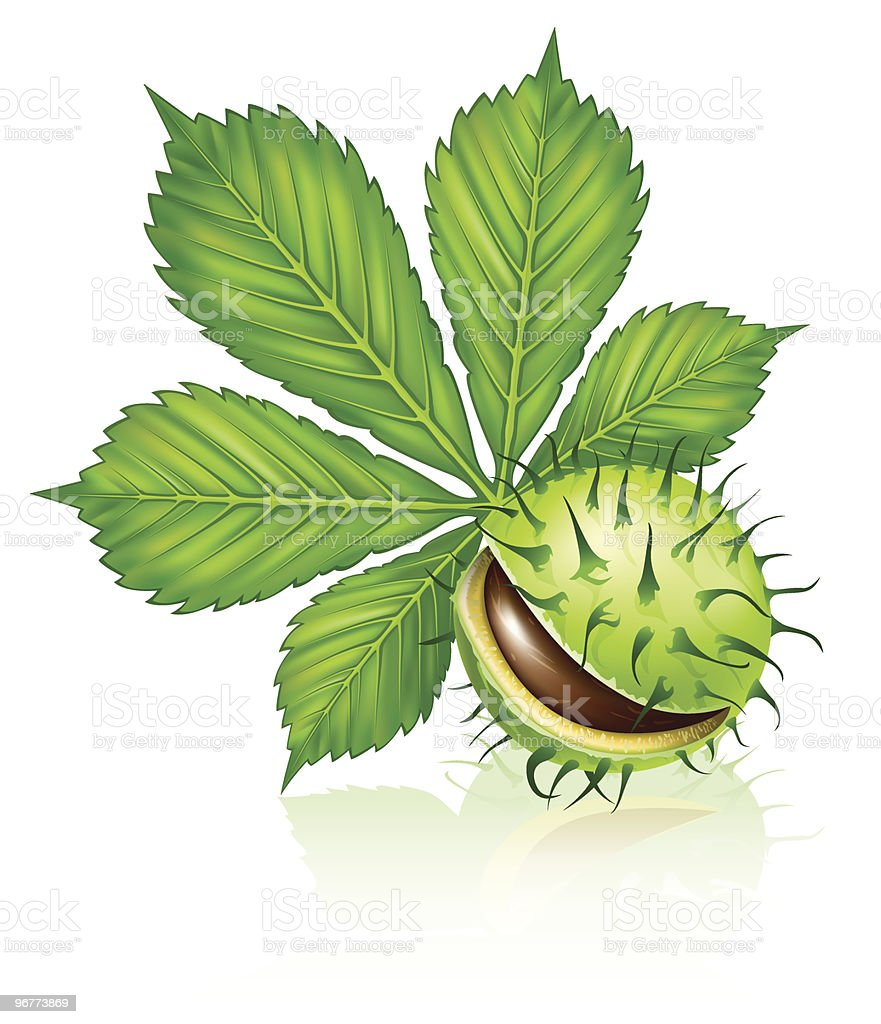 chestnut seed fruit with green leaf isolated vector art illustration