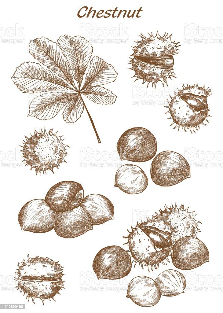 chestnut set of sketches vector art illustration