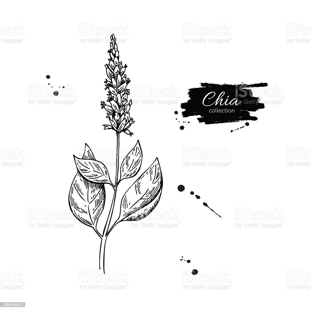 Chia plant vector superfood drawing. Isolated hand drawn  illust vector art illustration