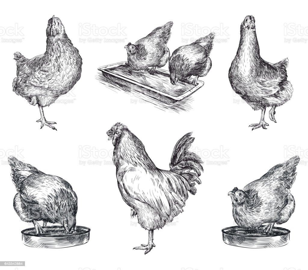 chicken breeding. animal husbandry. livestock vector art illustration