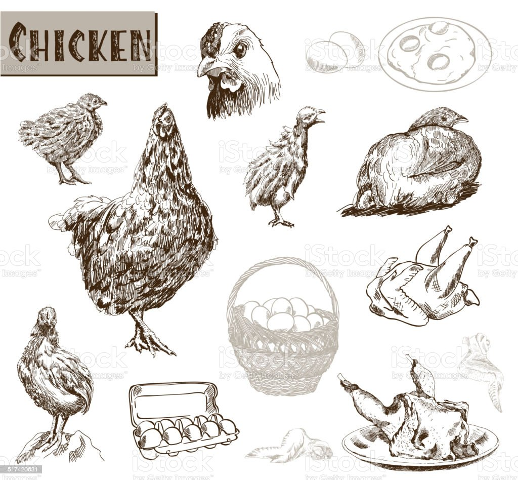 chicken breeding vector art illustration