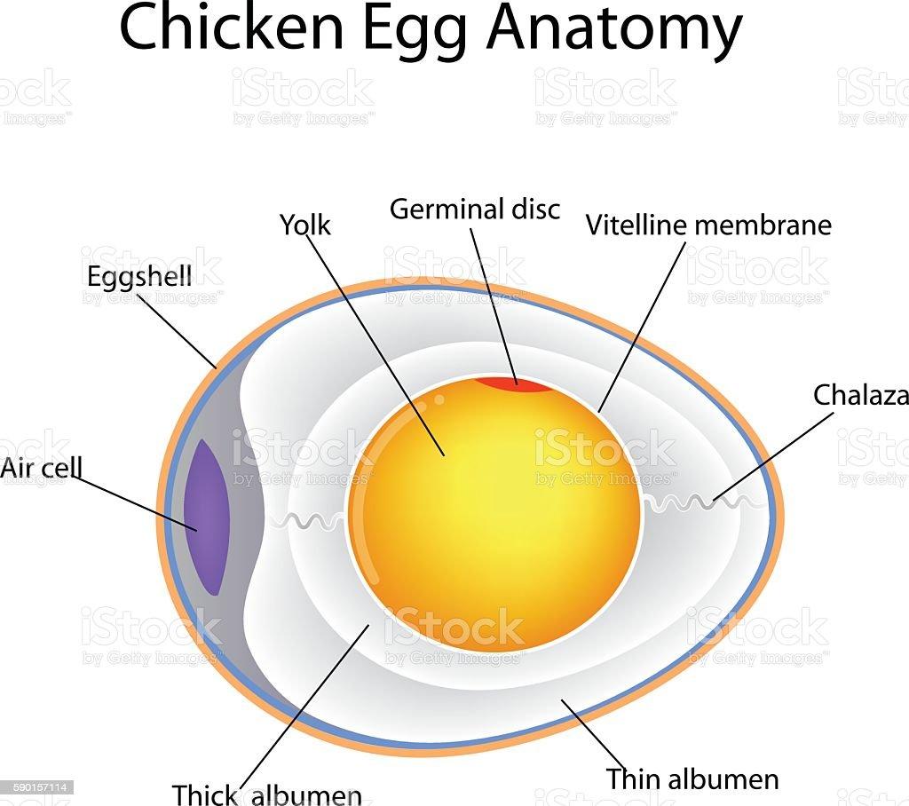 chicken egg anatomy vector art illustration