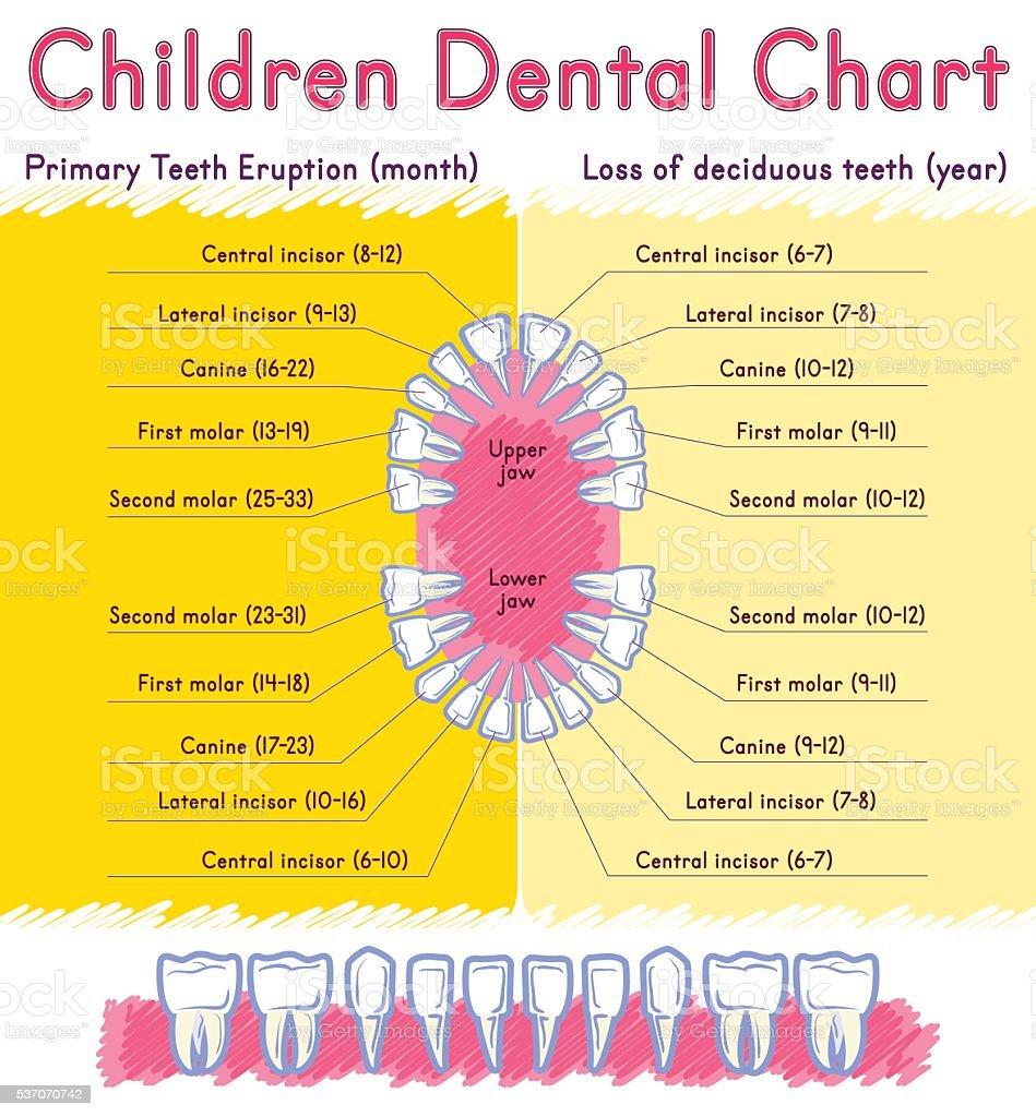 Children Teeth anatomy vector art illustration