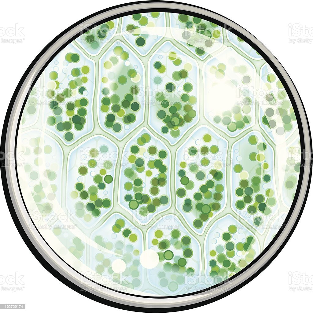 Chlorophyll. Plant Cells under the Microscope royalty-free stock vector art