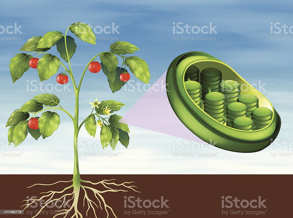 Chloroplast in plant royalty-free stock vector art