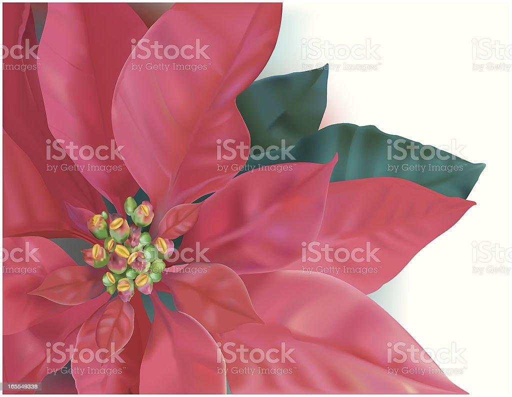 Christmas Poinsettia Vector royalty-free stock vector art