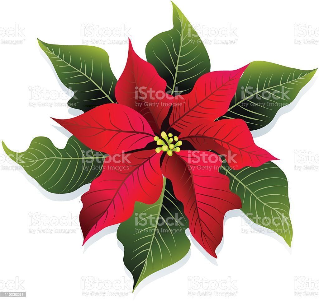 Christmas Red and Green Poinsettia Flower Vector Illustration royalty-free stock vector art