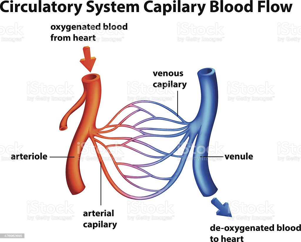 Circulatory System - Capilary blood flow royalty-free stock vector art