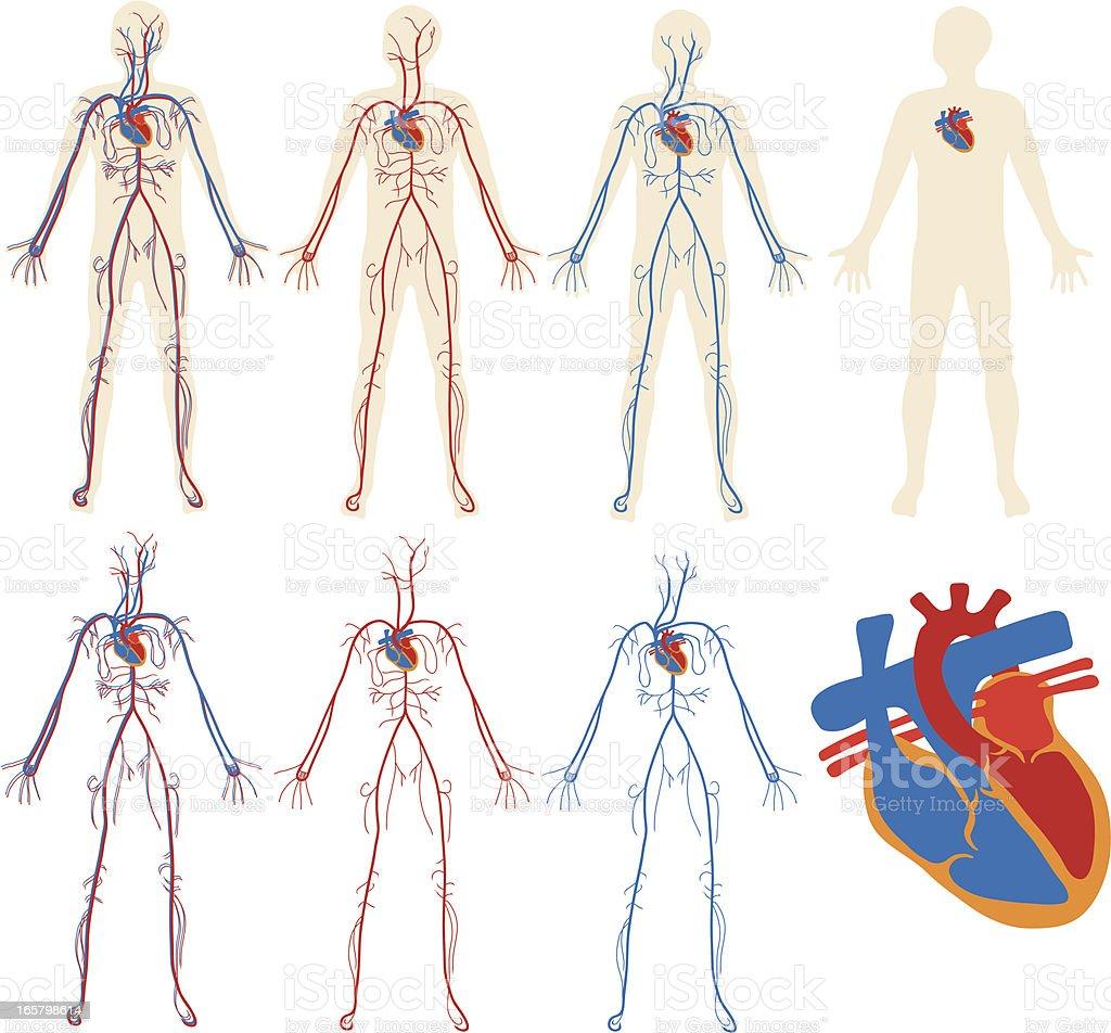 Circulatory system diagram vector art illustration