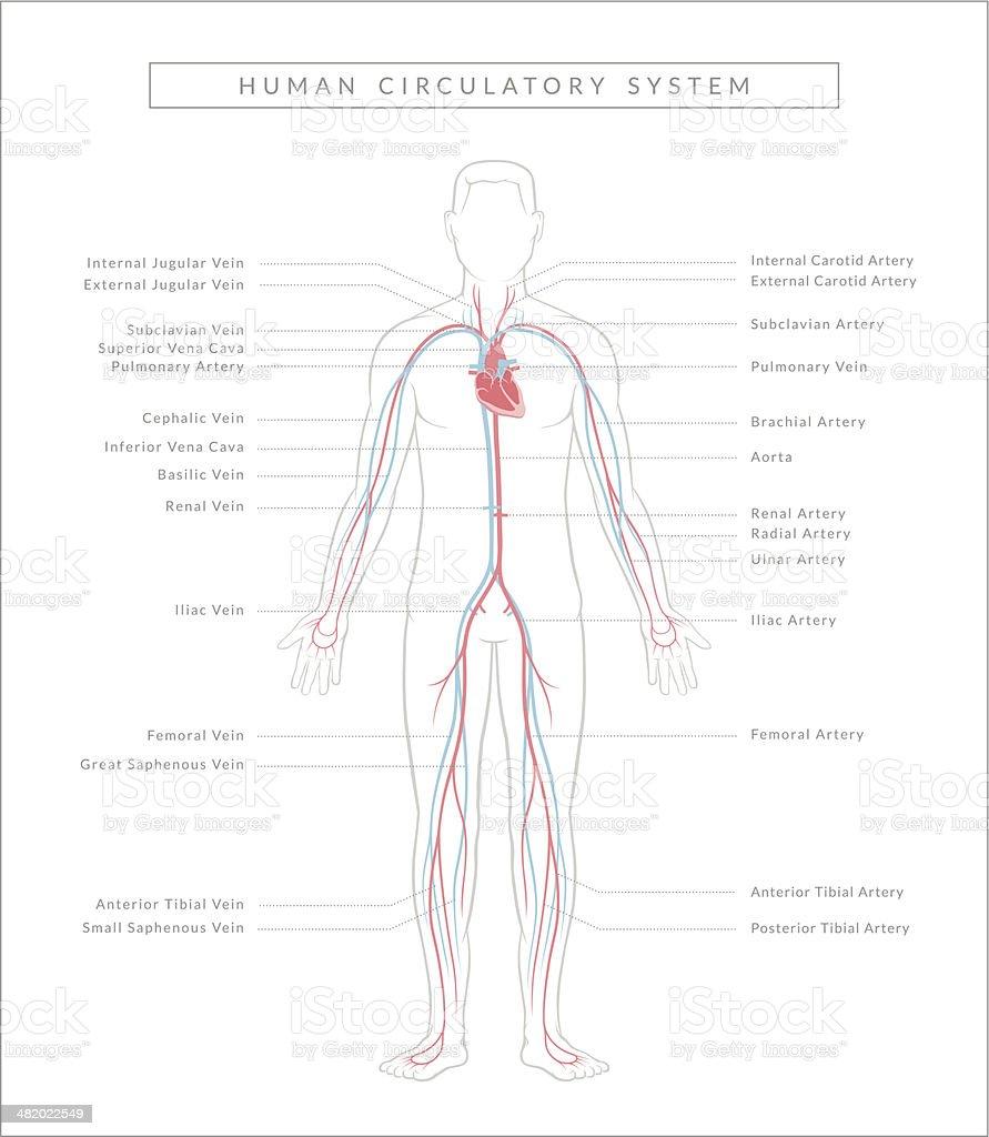 Circulatory System, Diagram royalty-free stock vector art
