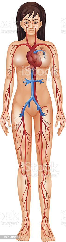 Circulatory System royalty-free stock vector art