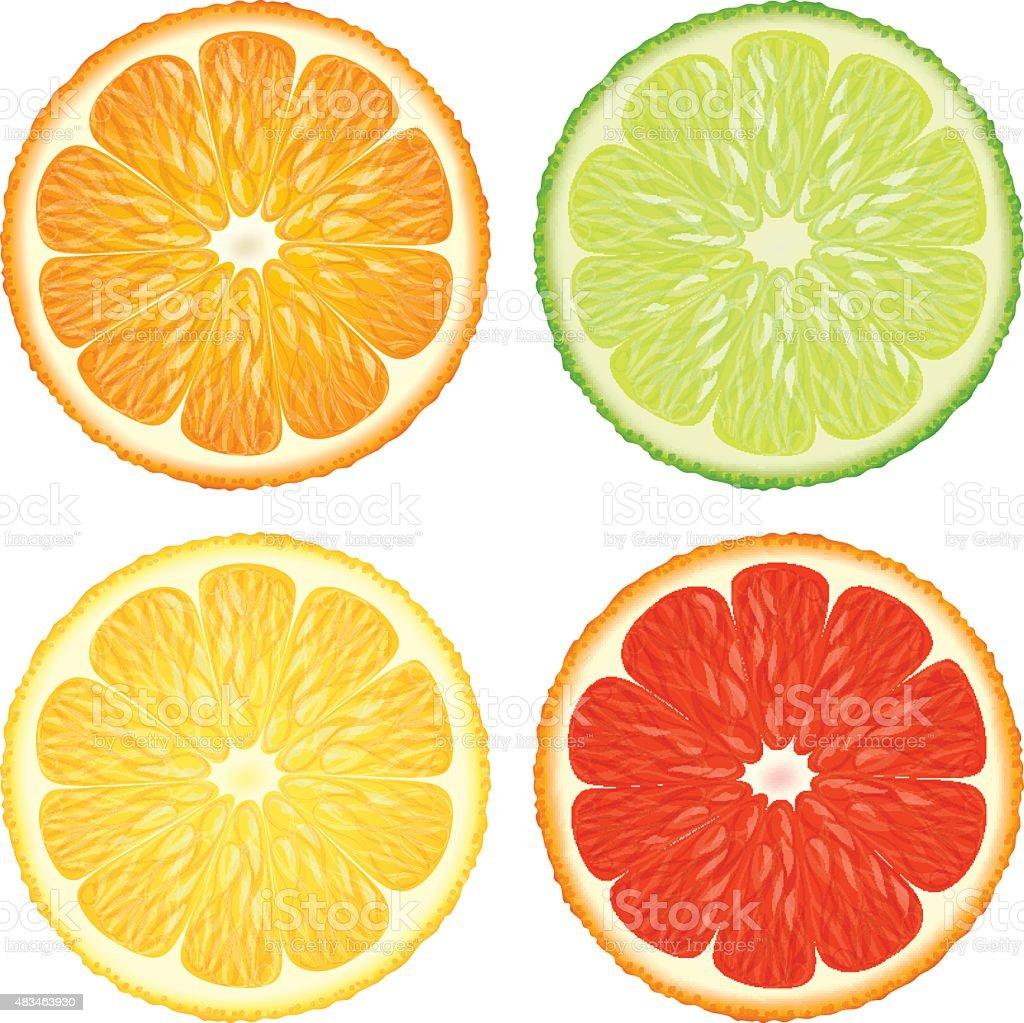 Citrus slices. vector art illustration