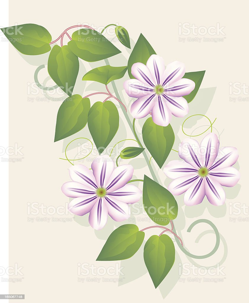Clematis 'Fireworks' royalty-free stock vector art