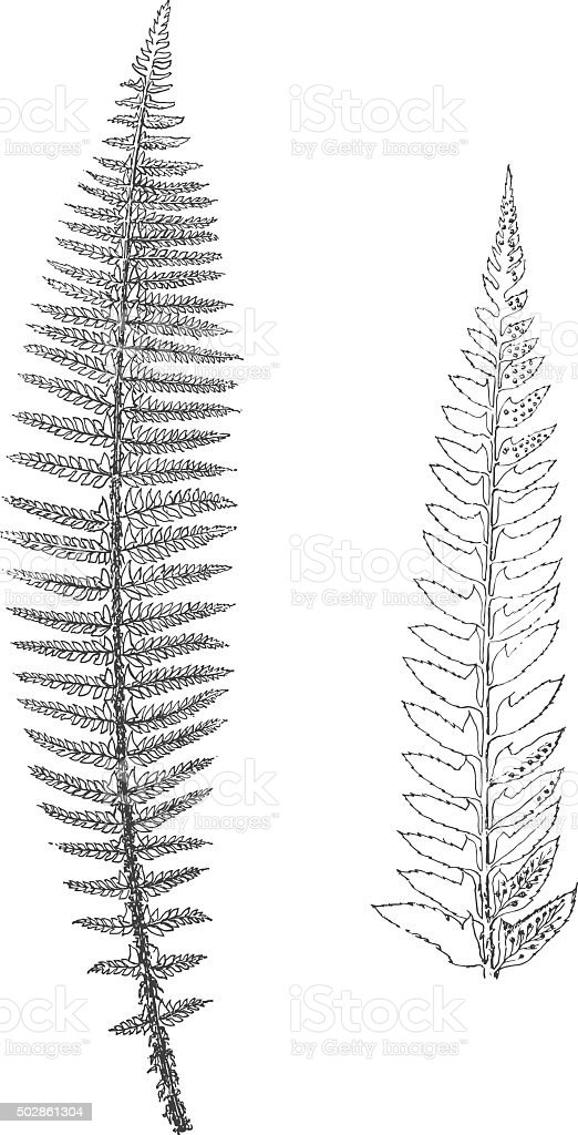 Close leaved prickly shield fern royalty-free stock vector art