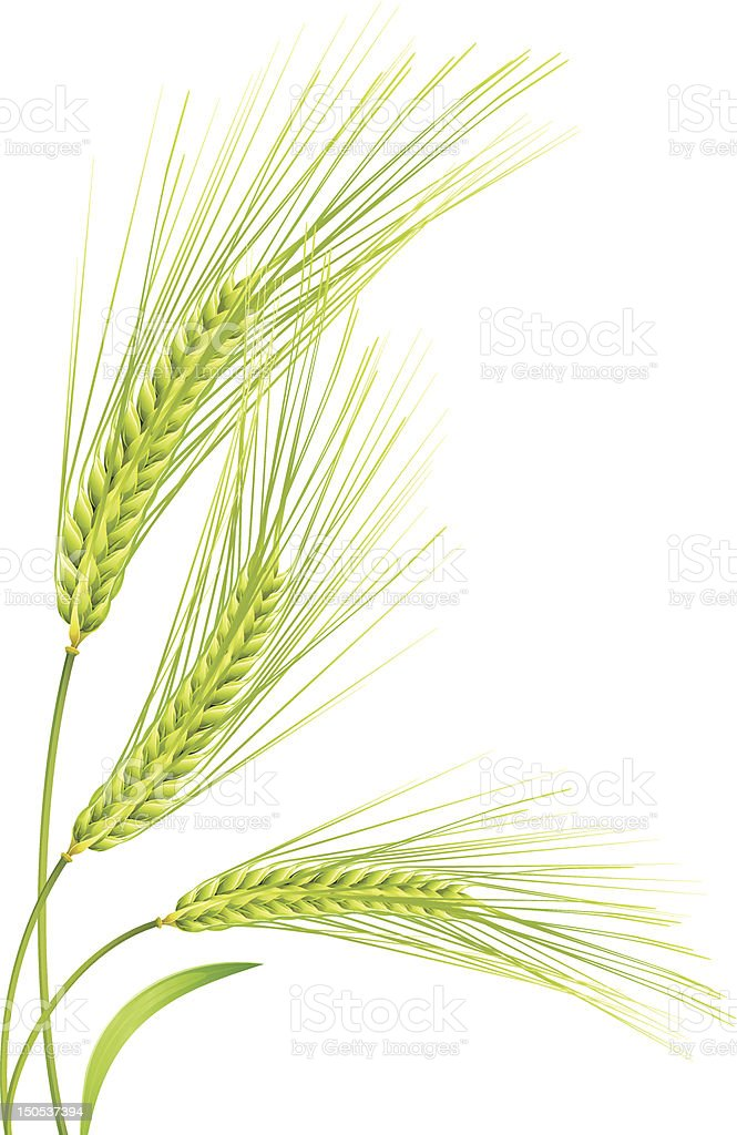 Close up 3 tufts of wheat on white royalty-free stock vector art