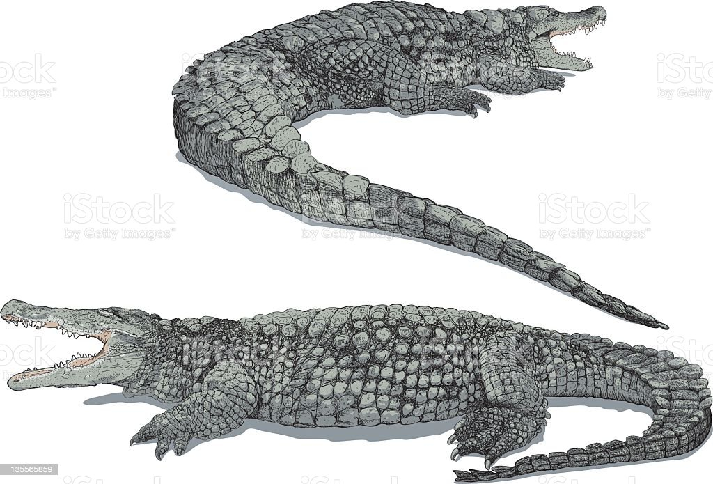 Close up of two grey crocodiles isolated on white background vector art illustration