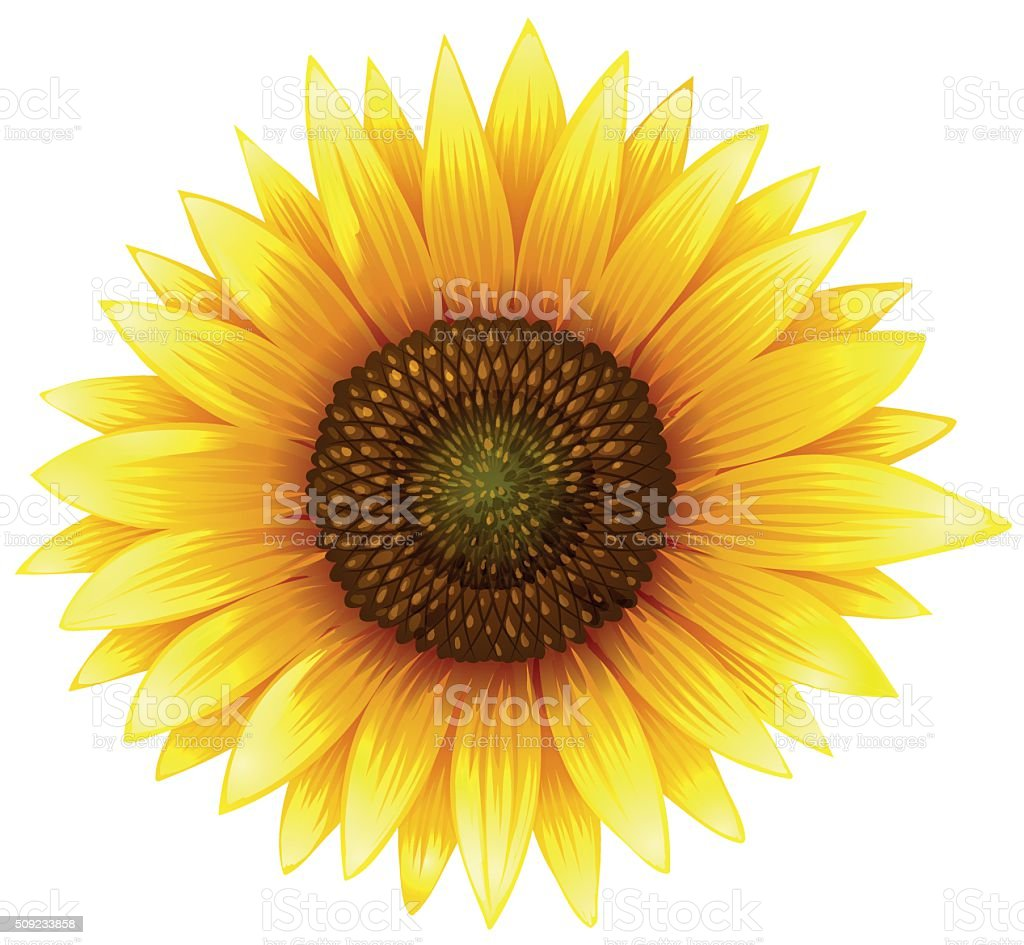 Close up sunflower with fine details vector art illustration