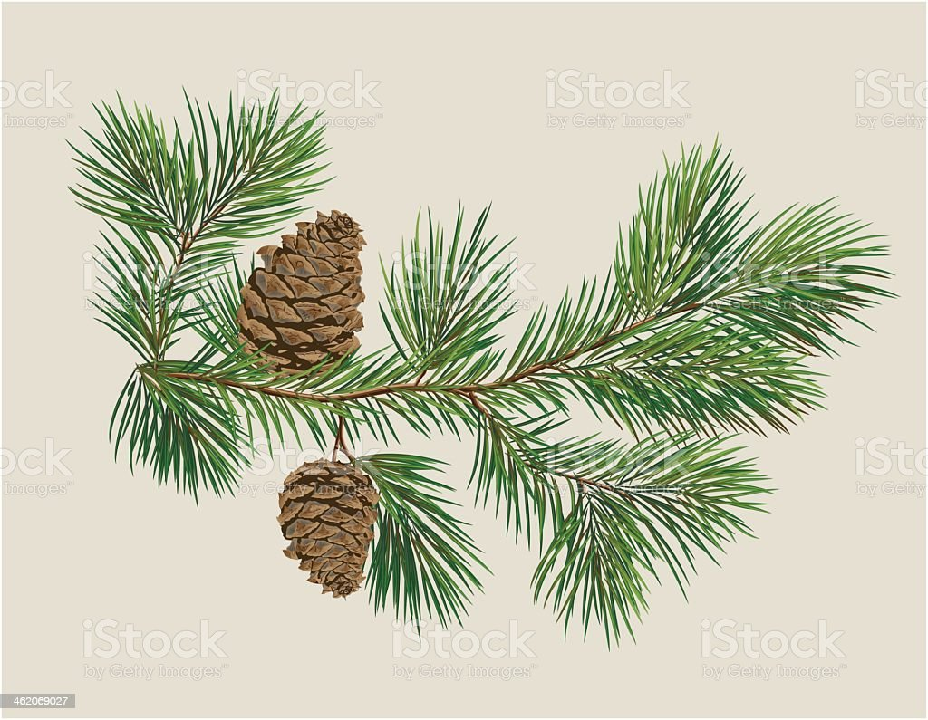 Close-up of a branch of Christmas tree with pine cones vector art illustration