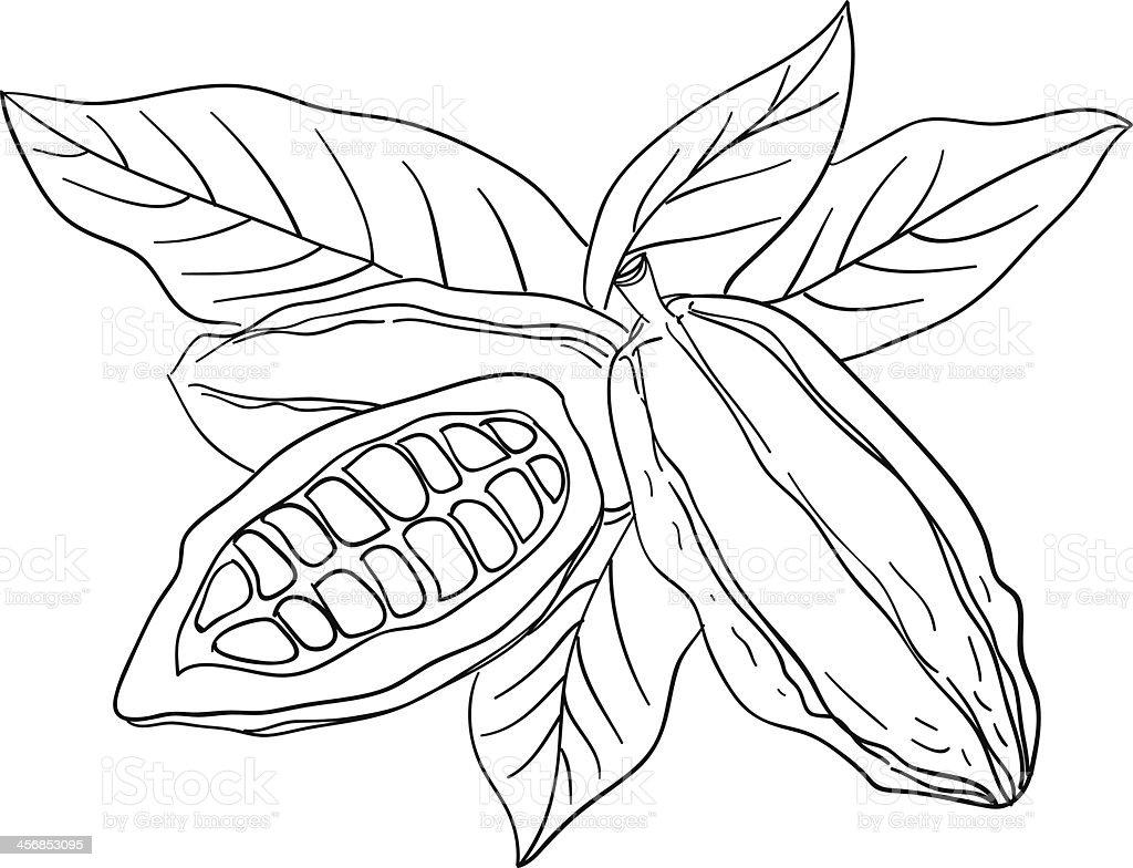 Cocoa bean sketch illustration vector art illustration
