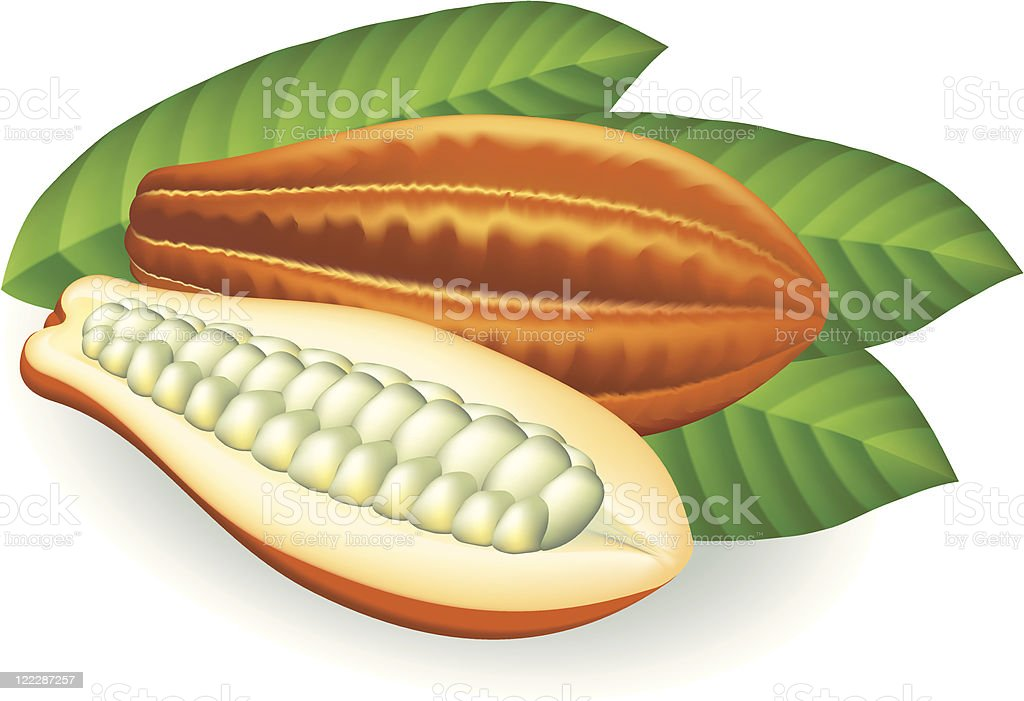 Cocoa beans. Vector illustration on white background. royalty-free stock vector art