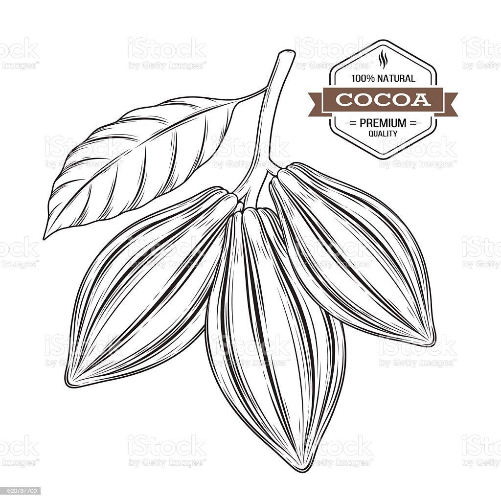 Cocoa pods vector illustration. Cocoa label, emblem, symbol vector art illustration