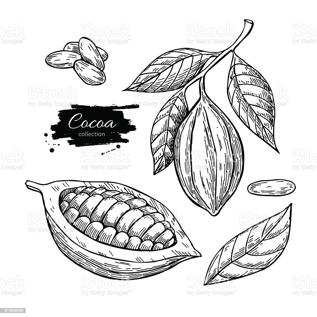 Cocoa vector superfood drawing set. Isolated hand drawn  illustr vector art illustration
