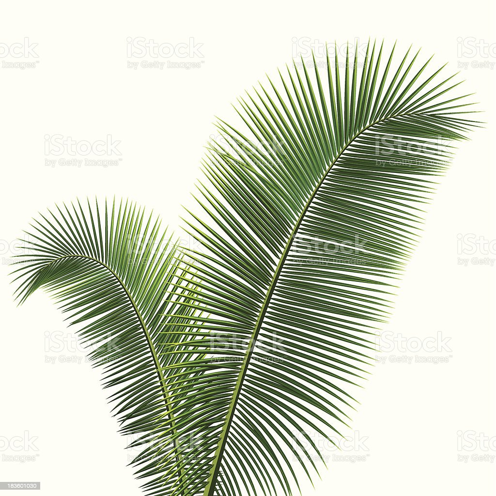 Coconut leaves isolated royalty-free stock vector art