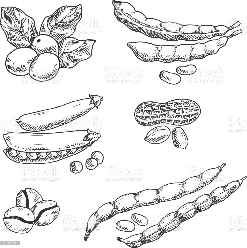 Coffee grains, pea, peanus and beans vector art illustration