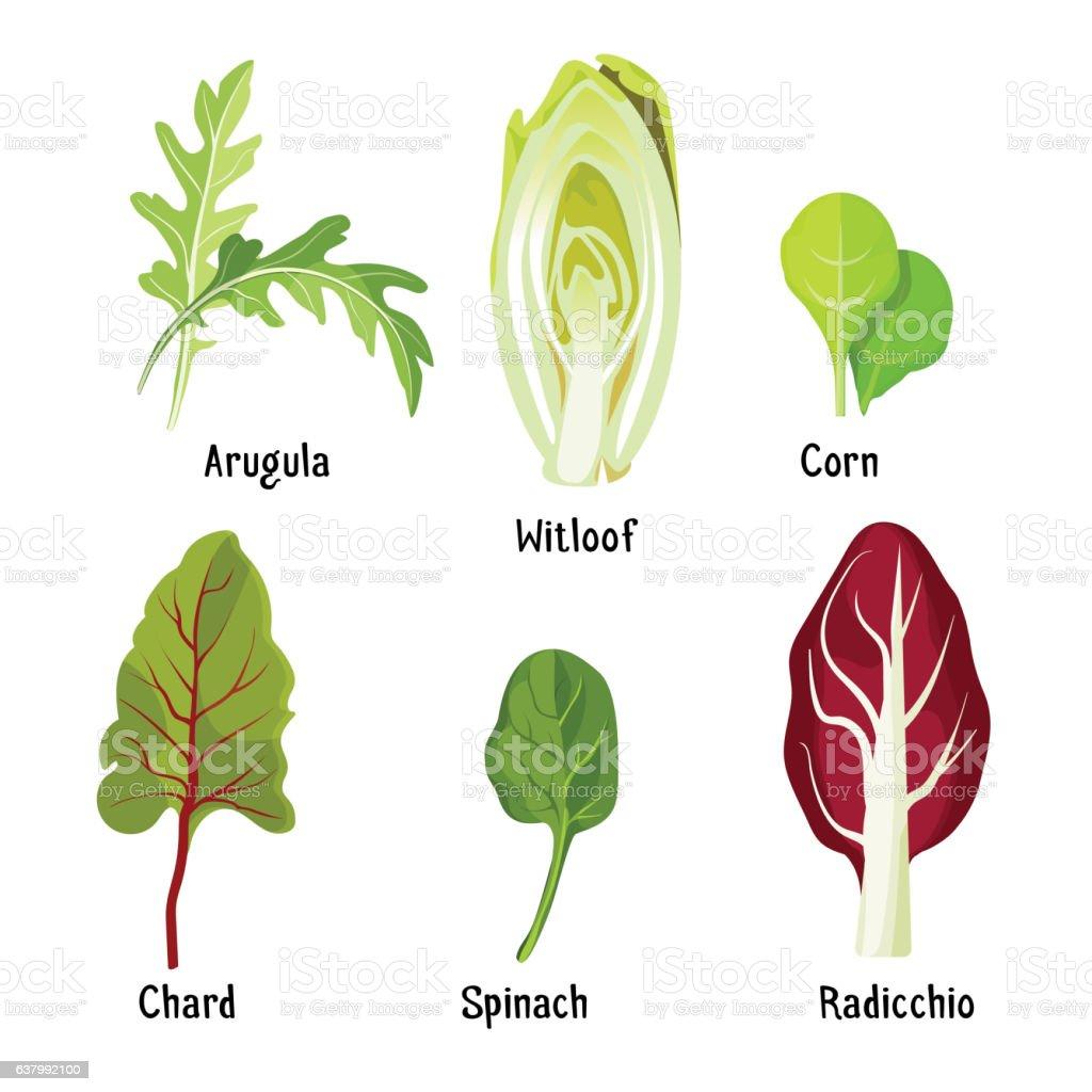 Collection of different plants arugula, witloof, corn, chard, spinach, radicchio vector art illustration