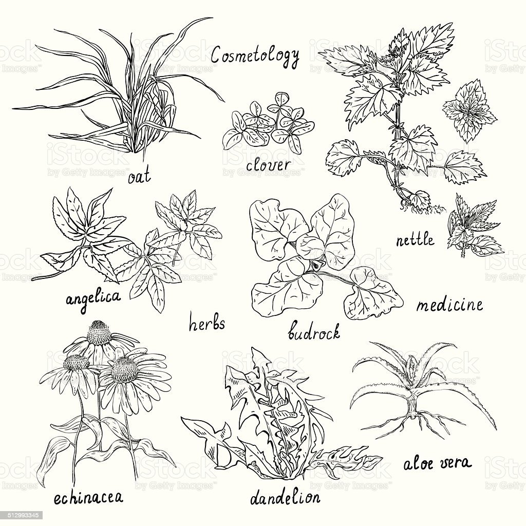 Collection of hand-drawn herbs are also used in cosmetics. vector art illustration