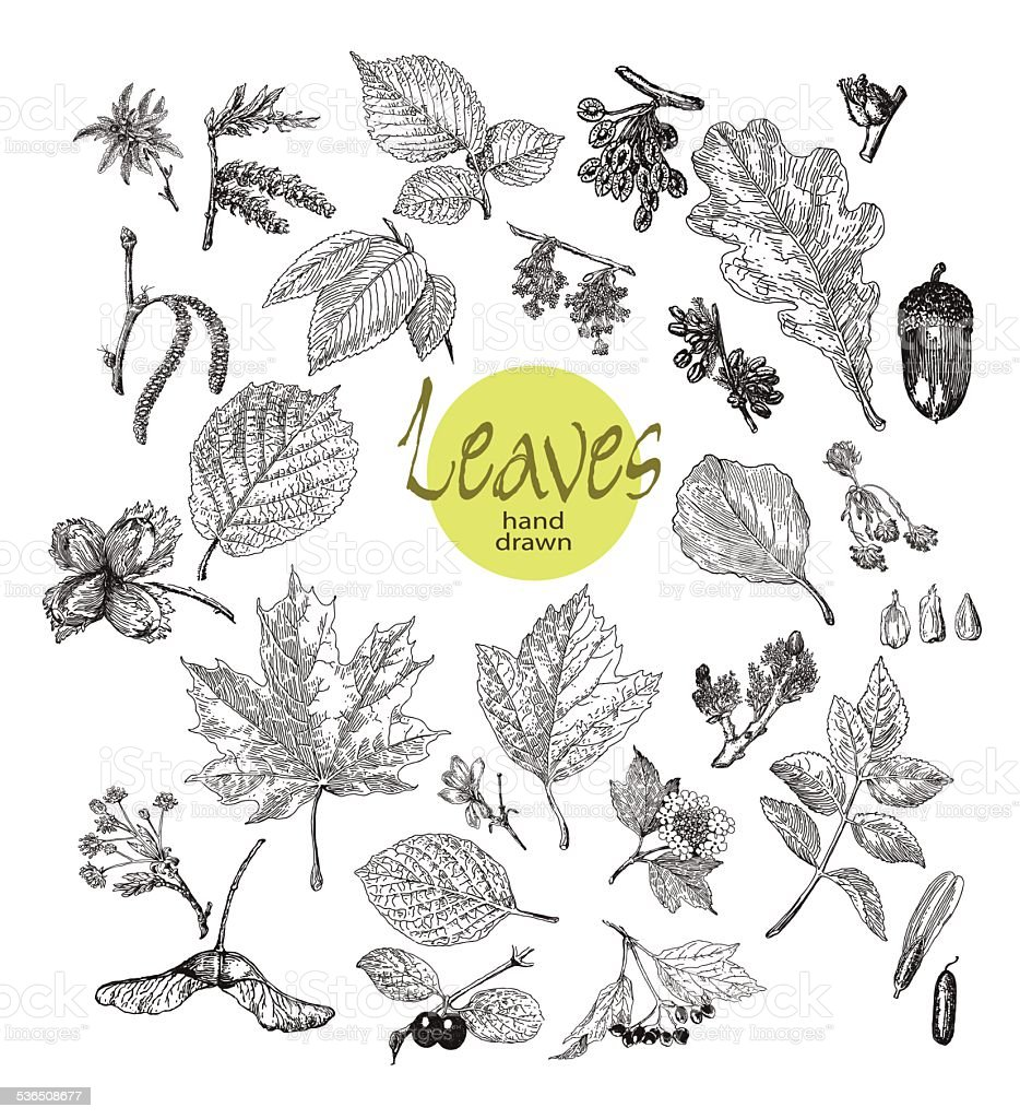Collection of highly detailed hand drawn leaves, fruit , inflorescence  isolated vector art illustration