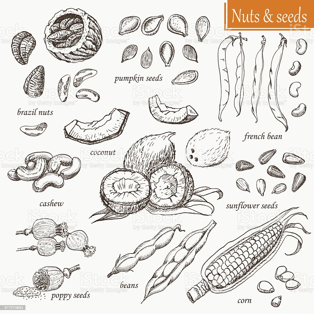 Collection of isolated nuts and seeds vector art illustration