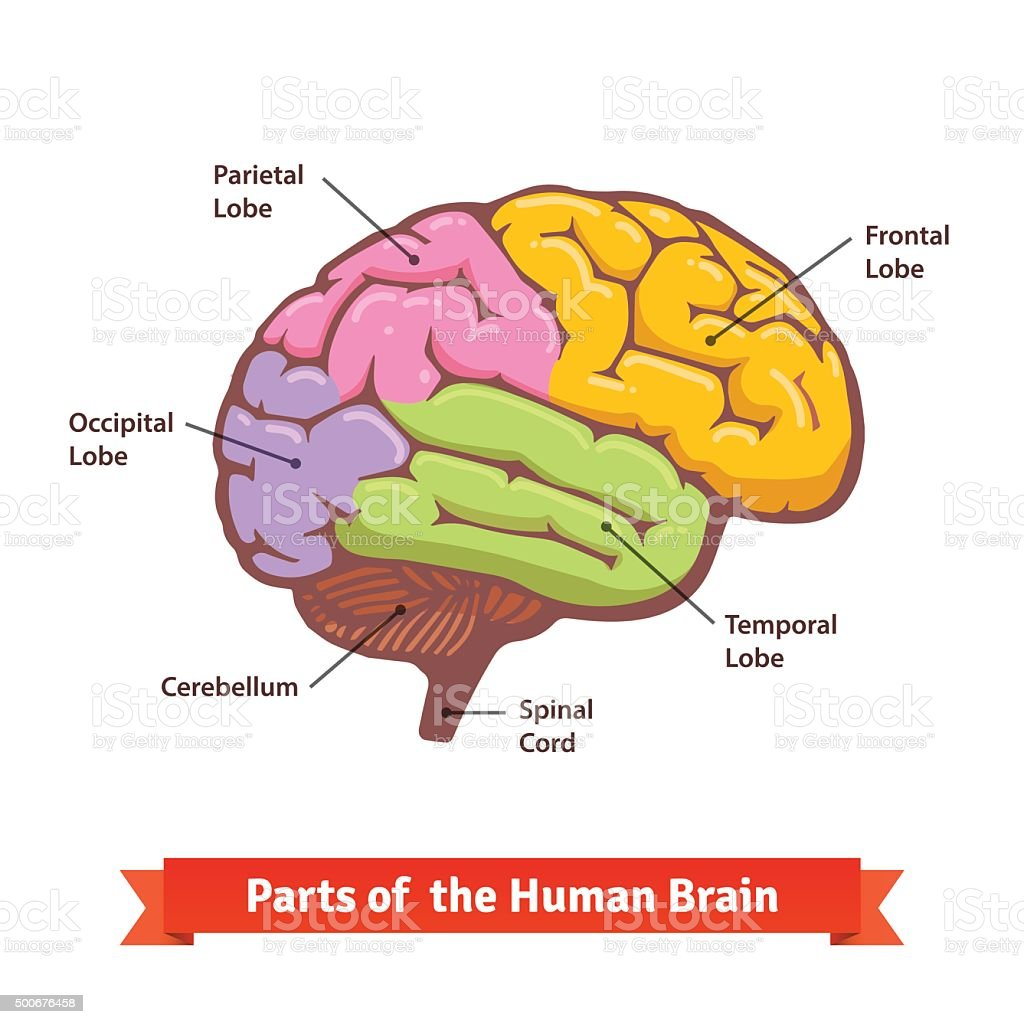 Colored and labeled human brain diagram vector art illustration