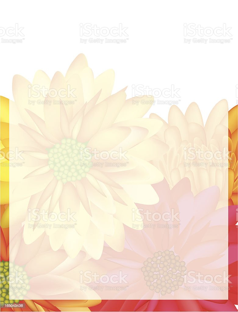 colorful mums royalty-free stock vector art