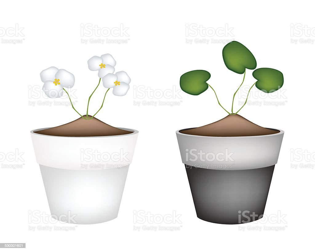 Common Frogbit Plants in Ceramic Flower Pots vector art illustration