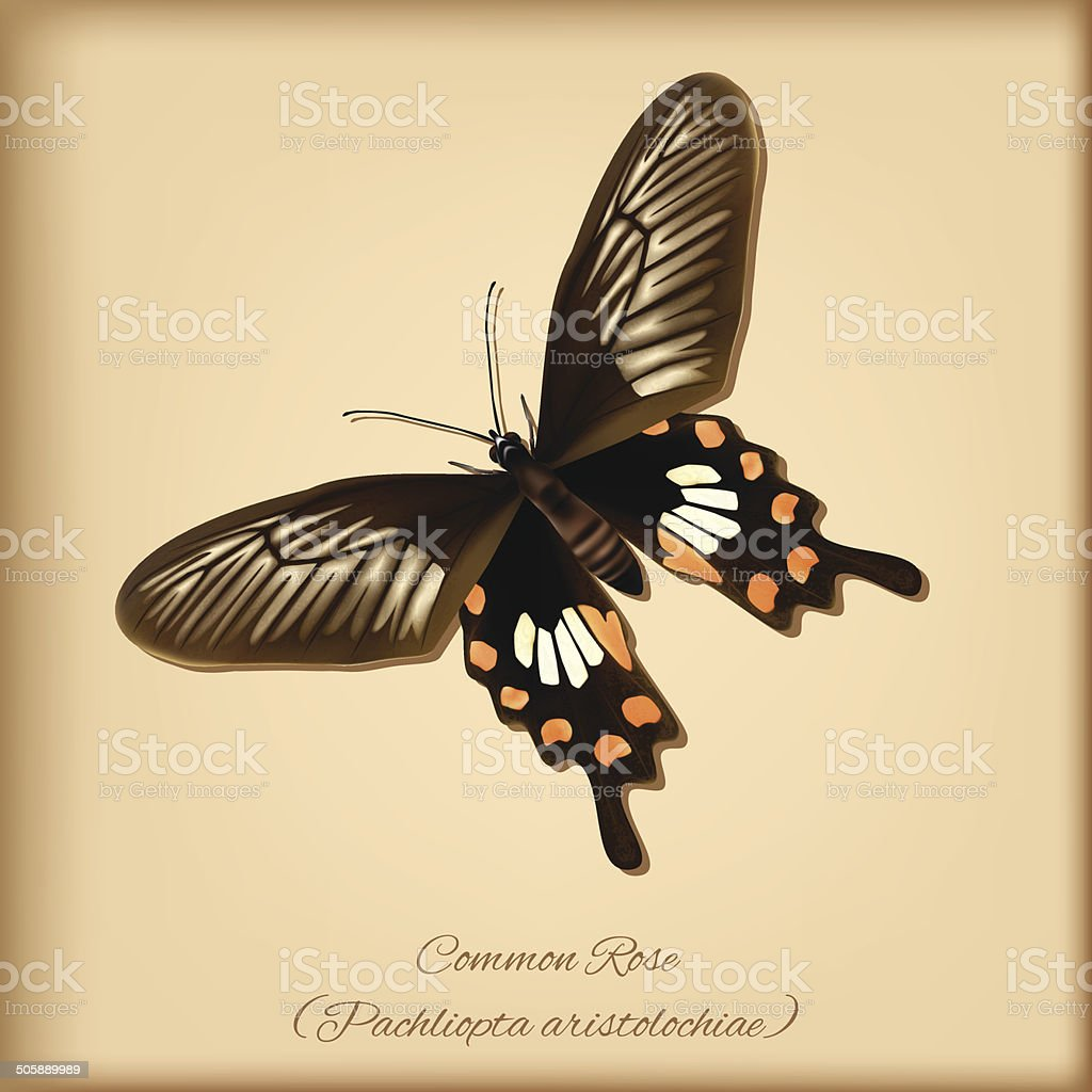 Common Rose Butterfly - Vector vector art illustration