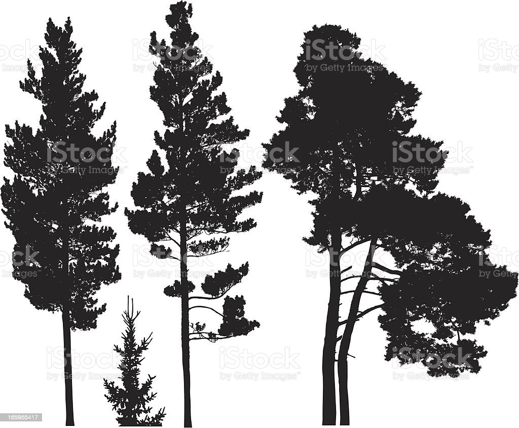Conifer trees royalty-free stock vector art