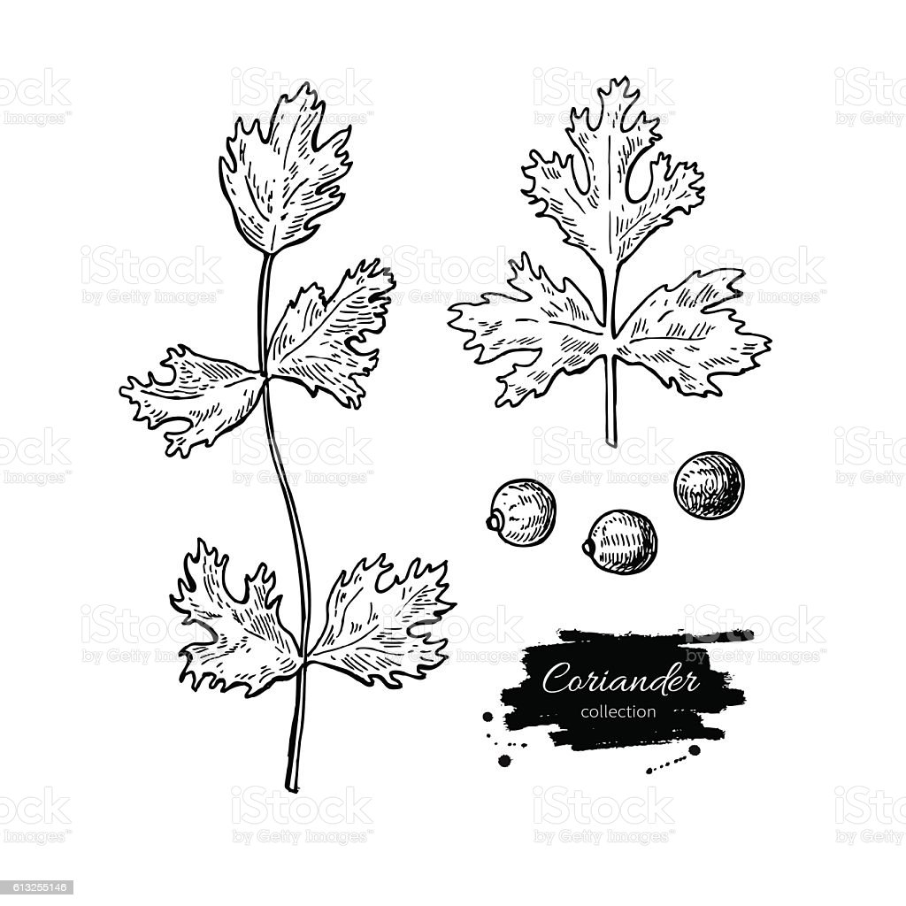 Coriander vector hand drawn illustration set. Isolated spice object vector art illustration