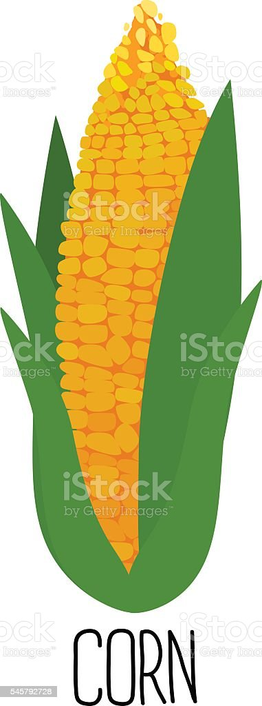 Corn cob  isolated on white background vector art illustration