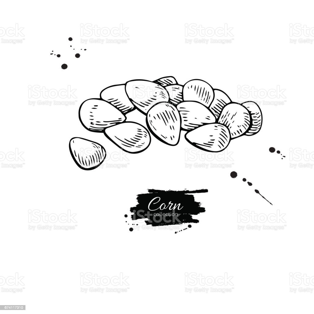 Corn seed heap hand drawn vector illustration. Isolated Vegetable engraved style object. vector art illustration