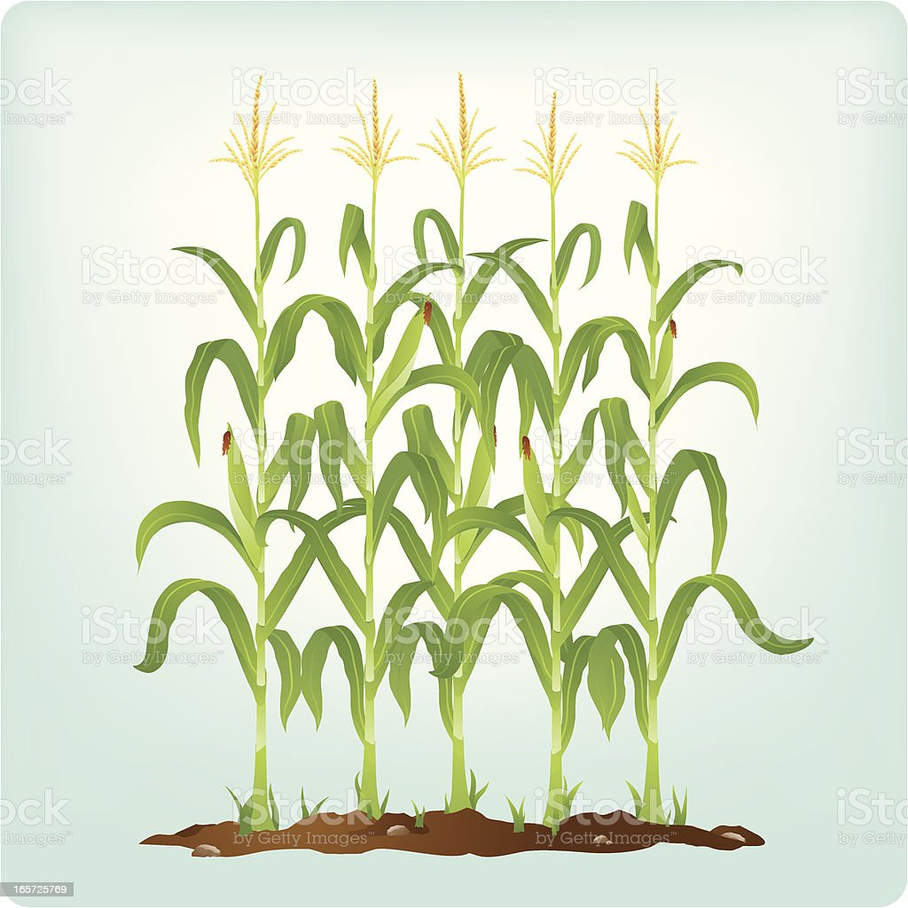 Corn stalks vector art illustration