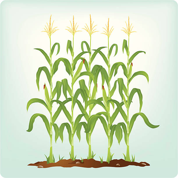 Corn Field Clip Art, Vector Images & Illustrations - iStock