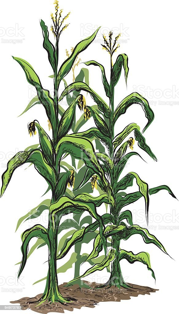 Corn Stalks with Tassels and Illustration isolated on White Background royalty-free stock vector art