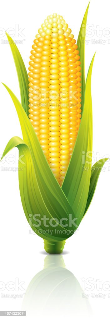 Corncob isolated on white vector illustration vector art illustration