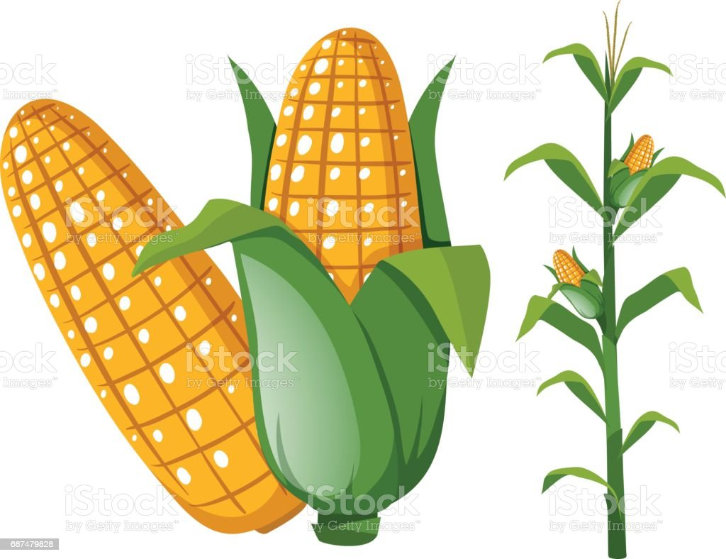 Corns on the cob and plant vector art illustration