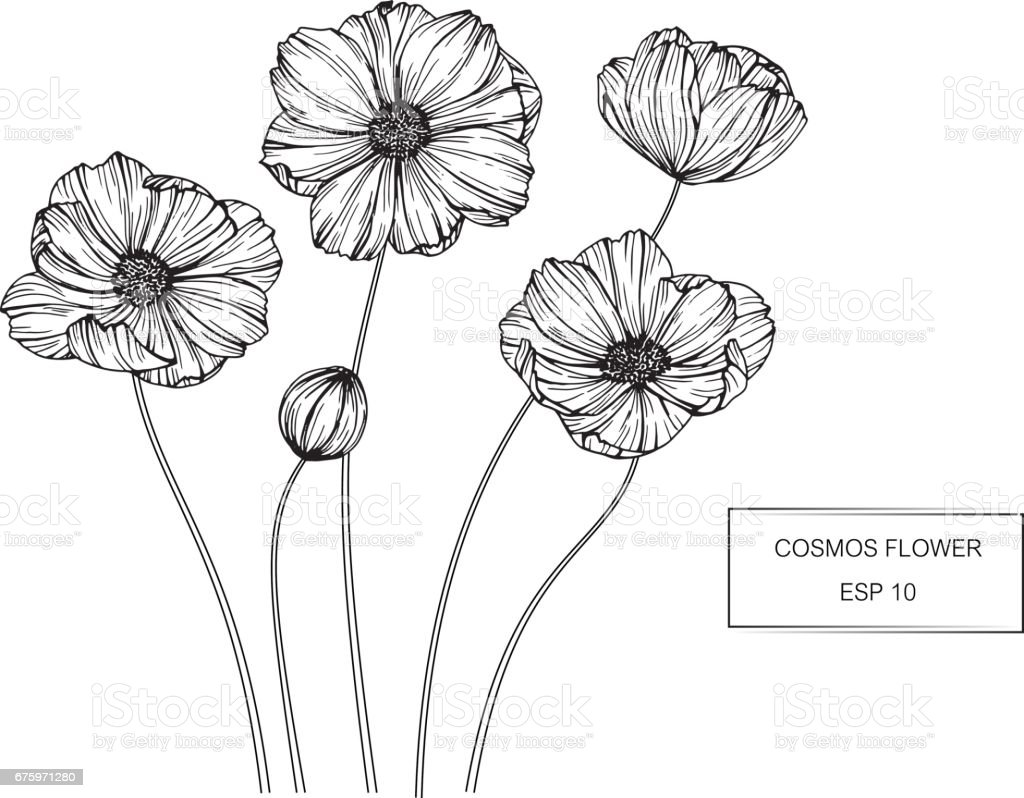 cosmos flowers drawing and sketch with lineart on white. Black Bedroom Furniture Sets. Home Design Ideas