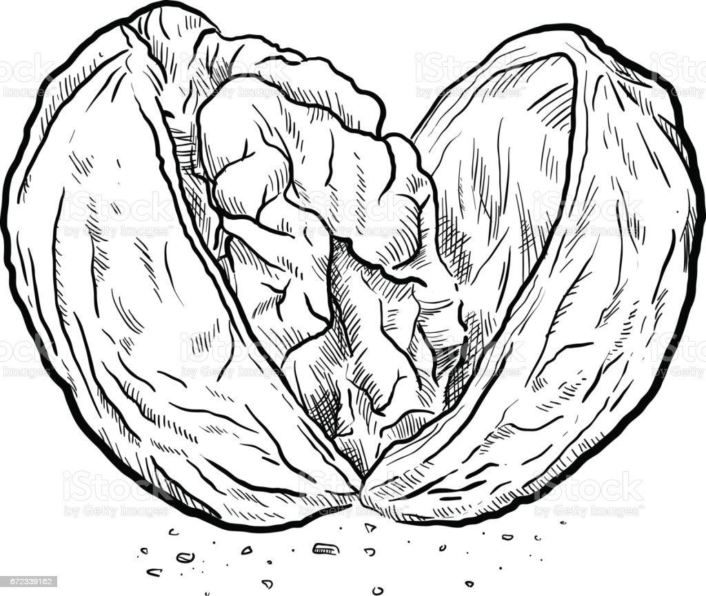 Cracked Open Walnut Sketch vector art illustration