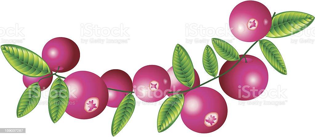 Cranberry royalty-free stock vector art
